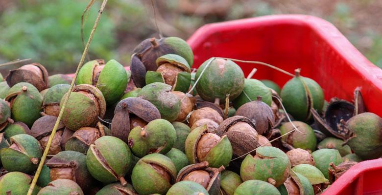 macadamia-home